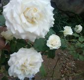 Nossas rosas do jardim da nossa casa