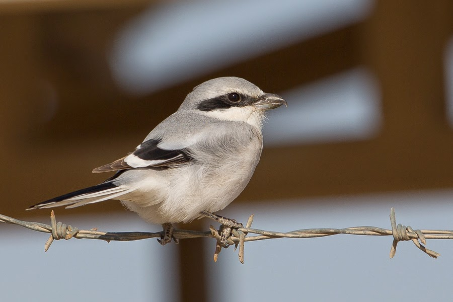 Mauryan (Steppe) Grey Shrike