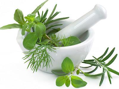 Obat Sipilis Dengan Tumbuhan