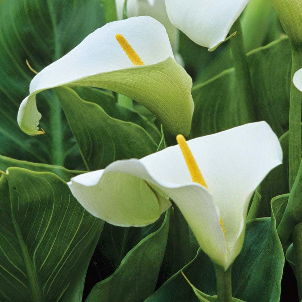 Flowers arum lilies have been cultivated to be used as part of easter celebrations for the easter floral trade since the 20th century hence often being commonly izmirmasajfo