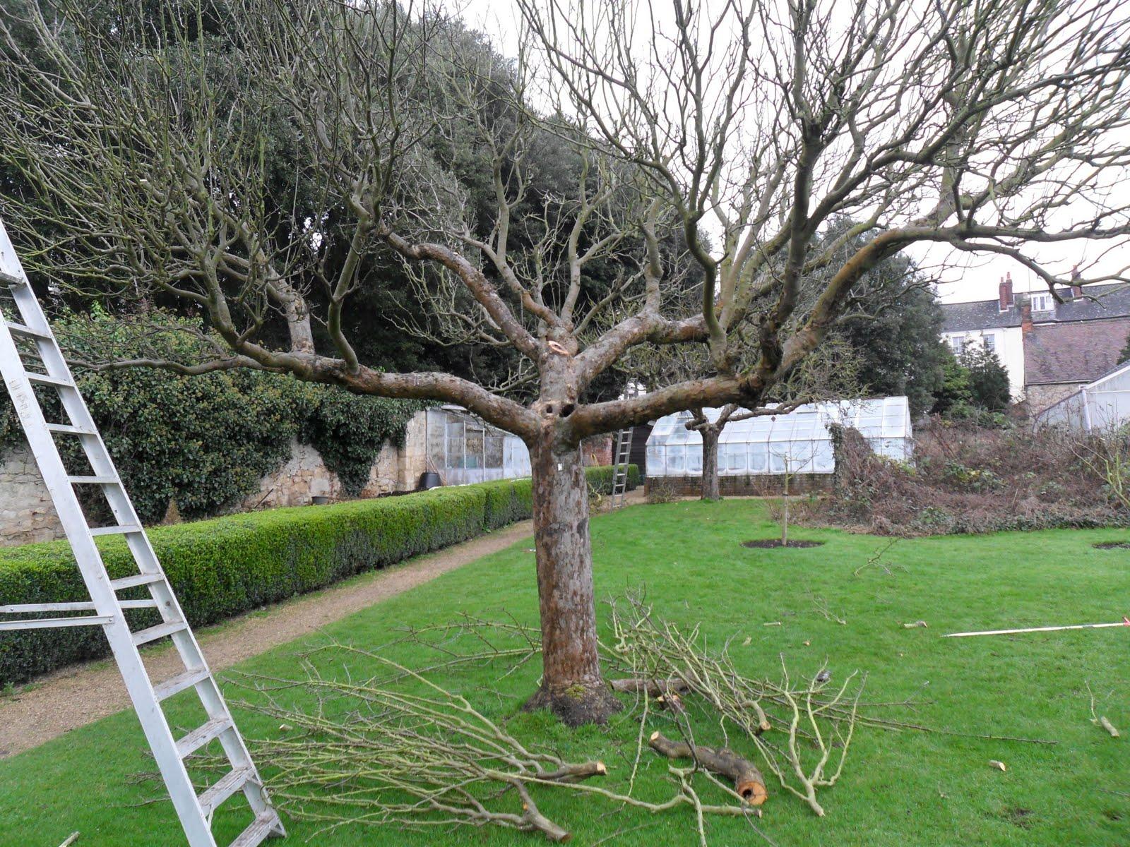 Worcester College Gardeners Year Three Fruit Tree Pruning