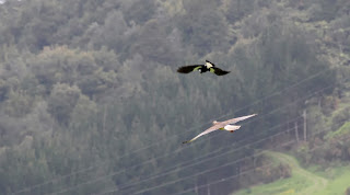 Hawk vs. Magpie