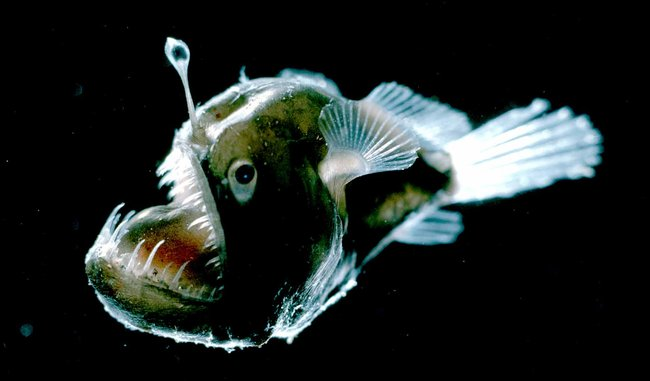 Deep sea bloggerhead march 2014 for Angler fish light