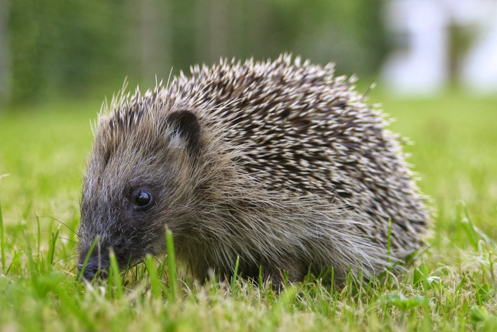 Hedgehog Animals | Amazing Facts & Latest Pictures | All ...