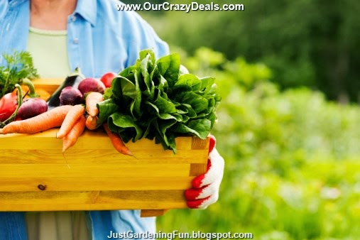 Picture of Senior Woman Holding Garden Box Container with Vegetables