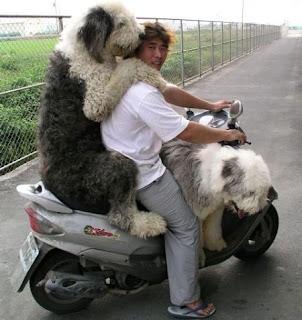 Funny Sheepdog