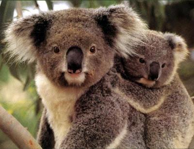 Австралия коала занесен в список