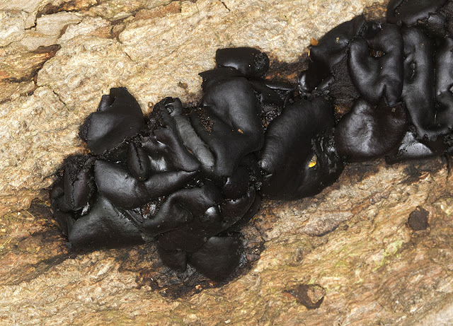 Witches' Butter, Exidia glandulosa. Orpington Field Club trip to Scadbury Park, 21 January 2012.