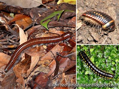 Millipedes (Class Diplopoda)