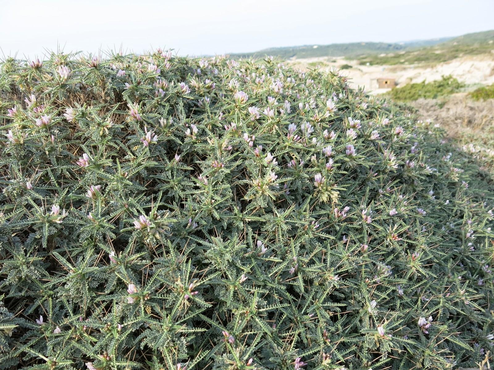 Giardini in gallura astragalus piante per il giardino - Piante per giardino ...