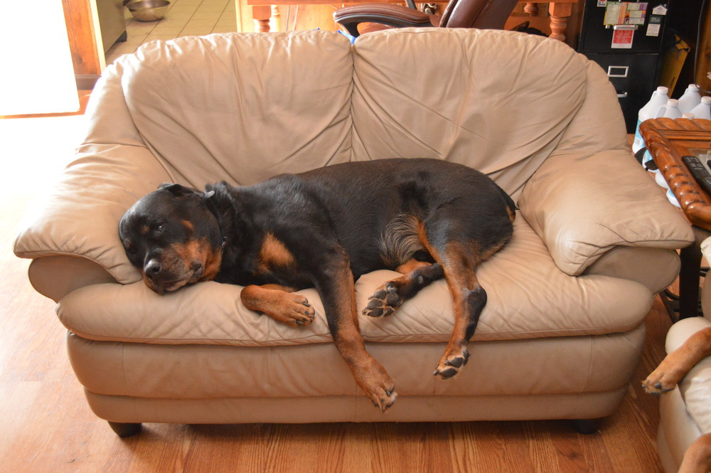 Rottweiler On Couch