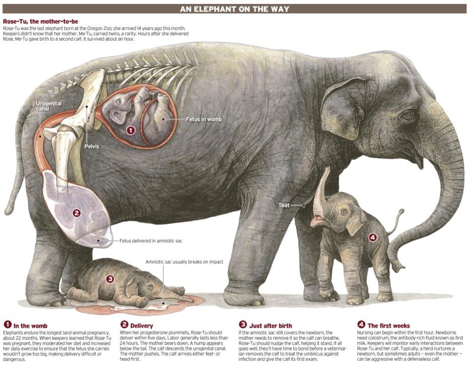 La elefanta Me-tu (Oregon) cometió la rareza de parir gemelos: Rose y un hermano que vivió 1 hora.