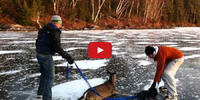 Two Guys Rescue Deer From Frozen Lake