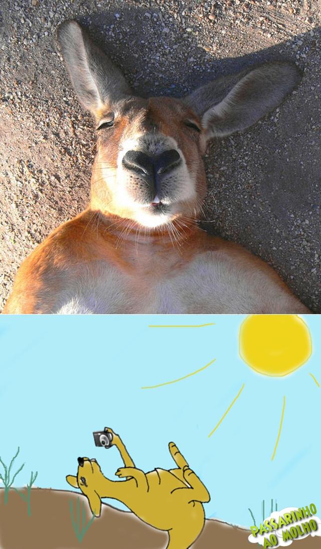 canguru, foto, sol