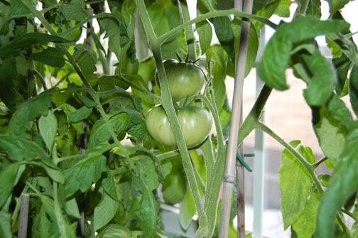 indoor tomato plants