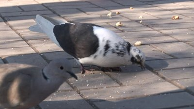 stock-footage-people-feed-pigeons