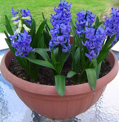 Flores plantas y jardines para san valent n espacios vivos - Jacinto planta cuidados ...