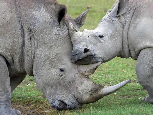 Kricpy Rhinos