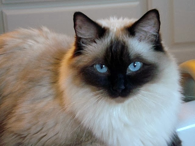 Ragdoll cattery japan