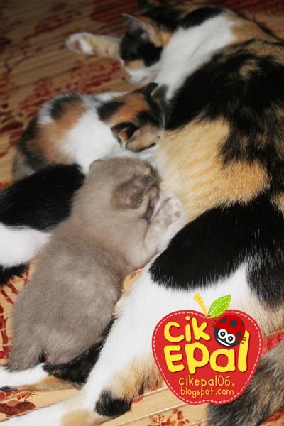 Cik Epal Kucing Jadian Berkepala Tiga Yang Comel