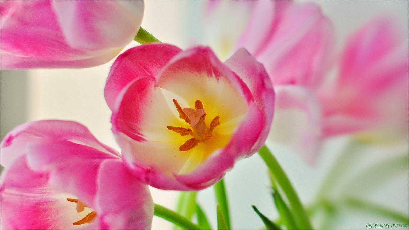 WALLPAPER ANDROID IPHONE Wallpaper Bunga Tulip Pink