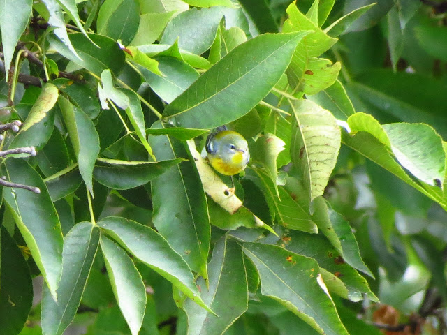 northern parula coming out of pignut tree