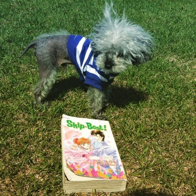 A fuzzy grey poodle, Murchie, stands on short-cut grass. He wears a blue and white striped t-shirt. In front of him is a trade paperback volume of Skip Beat. Its cover features a red-haired Japanese girl in a peach ballgown dancing with a dark-haired Japanese man in a pale grey suit.