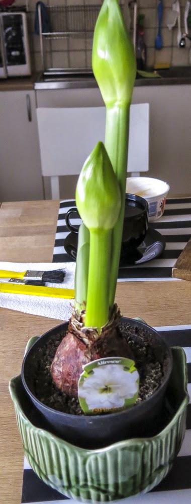 amaryllis alfresco