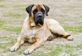 Las 10 Razas de Perros Menos Inteligentes, Animales