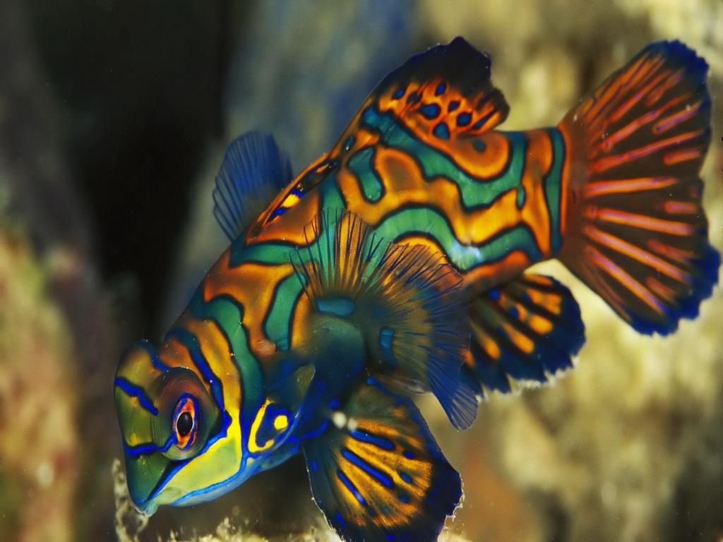 Dragonets Mandarinfish