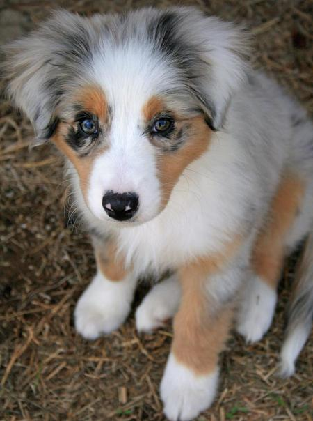 Cute Australian Shepherd (Aussie) Puppies Photos ~ Cute Puppies ...