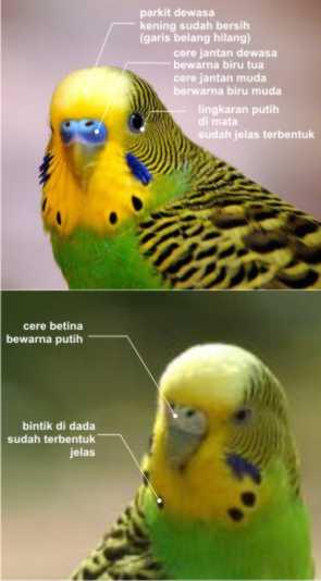 Ruang Ilmu Tips Membeli Burung Parkit