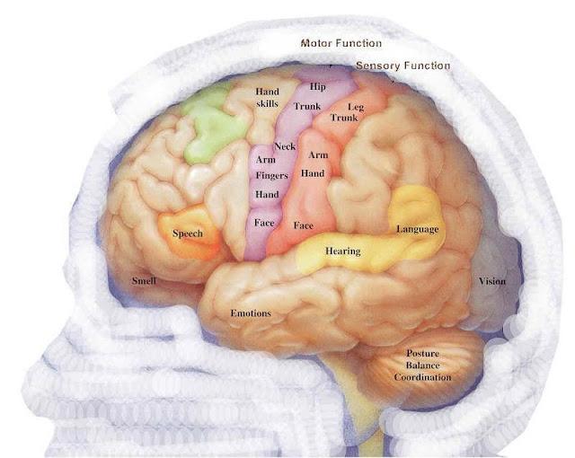 Brain Function5