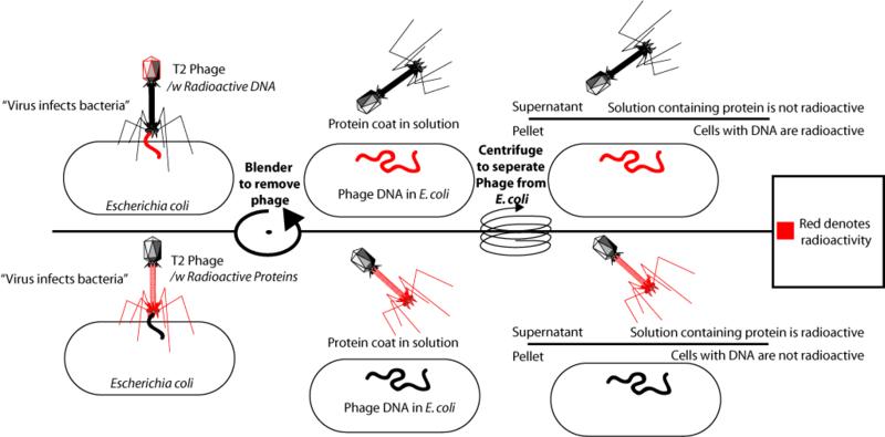 Alfred Hershey - Penemu Struktur Genetik Virus