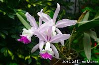 Cattleya hibrida intermedia