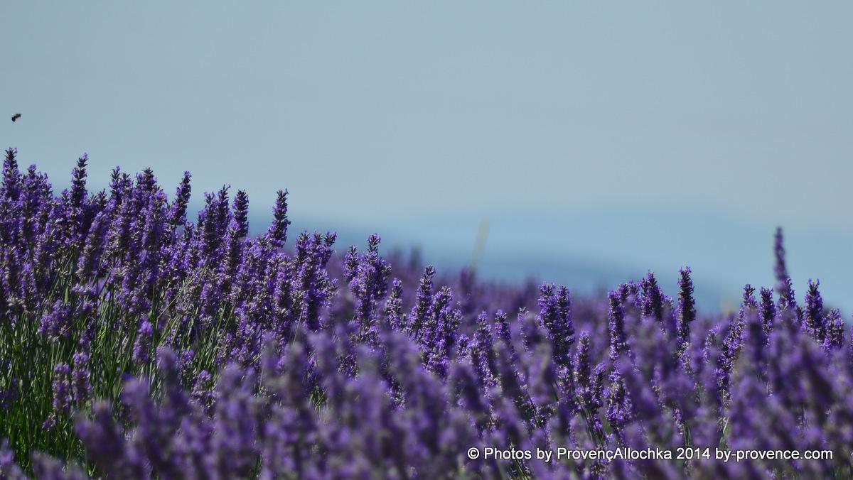 lavande,lavender