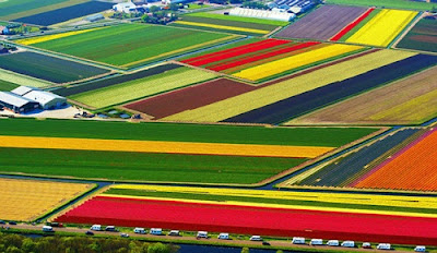 Mùa hoa tulip ở thị trấn Lisse, Hà Lan