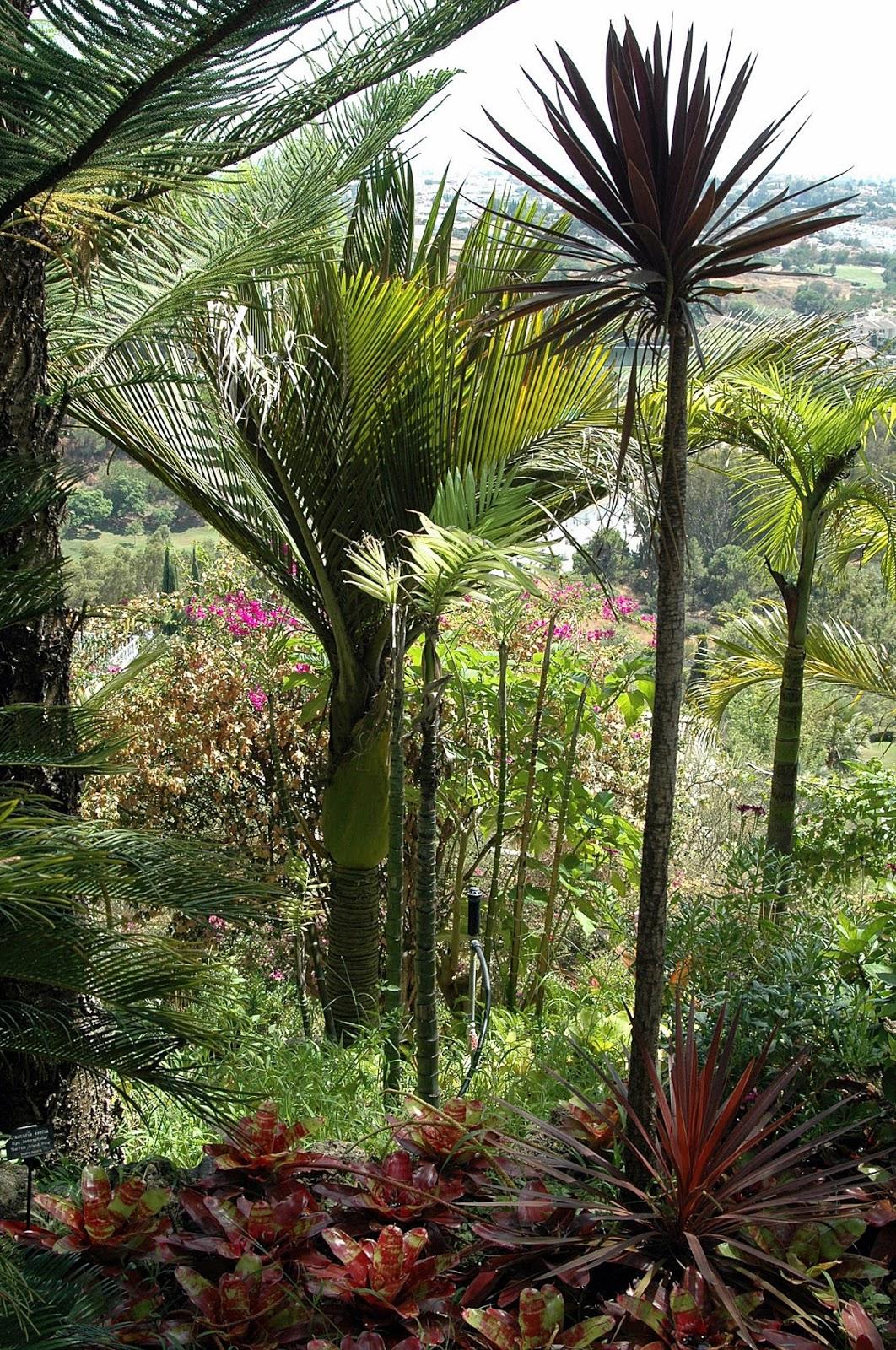 Floraciones en m laga y m s jard n tropical de palmeras - Palmeras pequenas para jardin ...