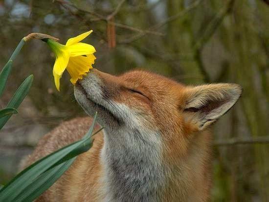 αλεπού του Ολύμπου