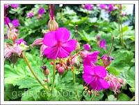 Storchenschnabel im Garten