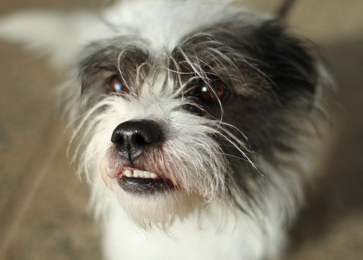 Jack Russell Shih Tzu Mix Puppies