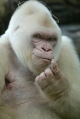 gorilla gorila albino