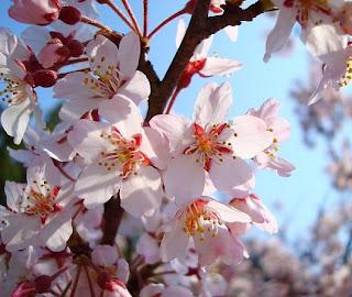 Foto Bunga Sakura Pink Di Jepang