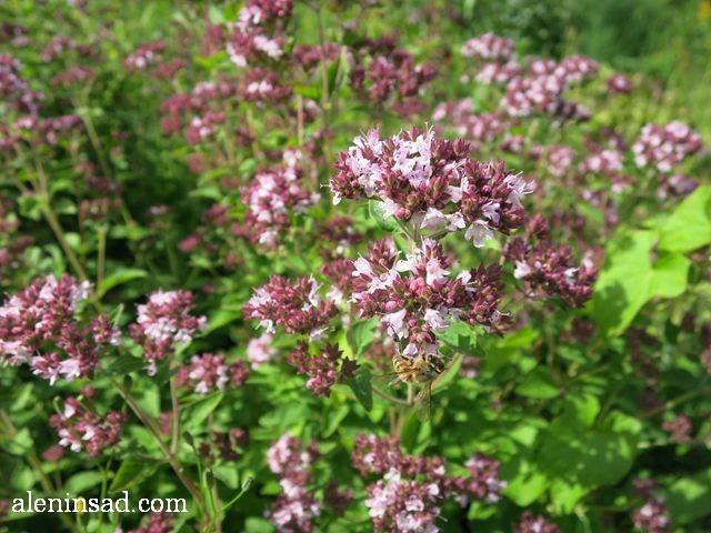 душица, орегано, Origanum vulgare, аленин сад, цветы, июль