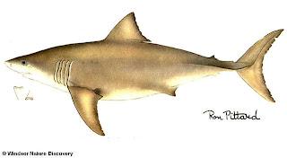 gran tiburon blanco Carcharodon cacharias