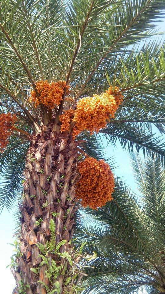 Pokok kurma negeri serambi mekkah