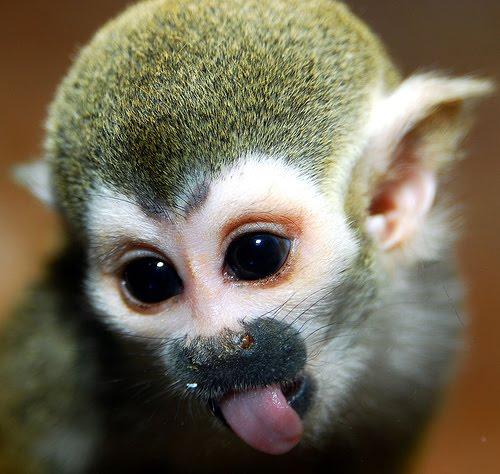 Monkey funny cute - photo#18