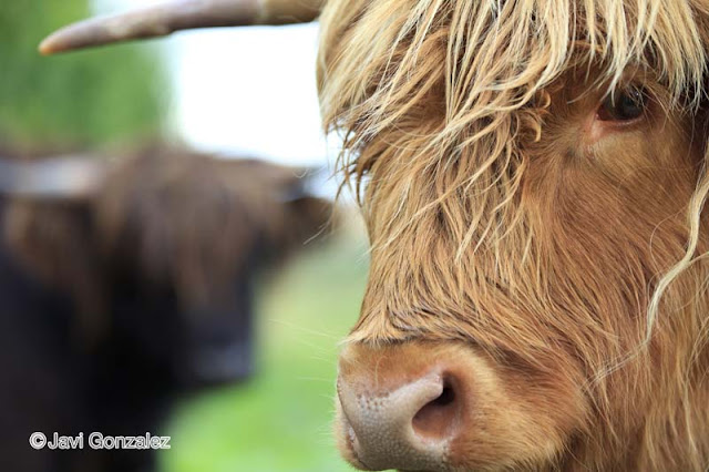 Scottish Highland cattle, Scotland,