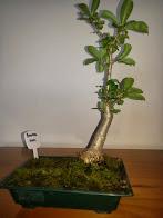 Baobab Bonsai 2001