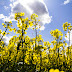 Summer is just around the corner - Rapeseed